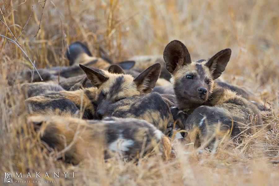 Wild dogs sleeping in Timbavati