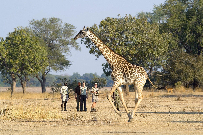 walking with giraffe in foreground on Zambia safari