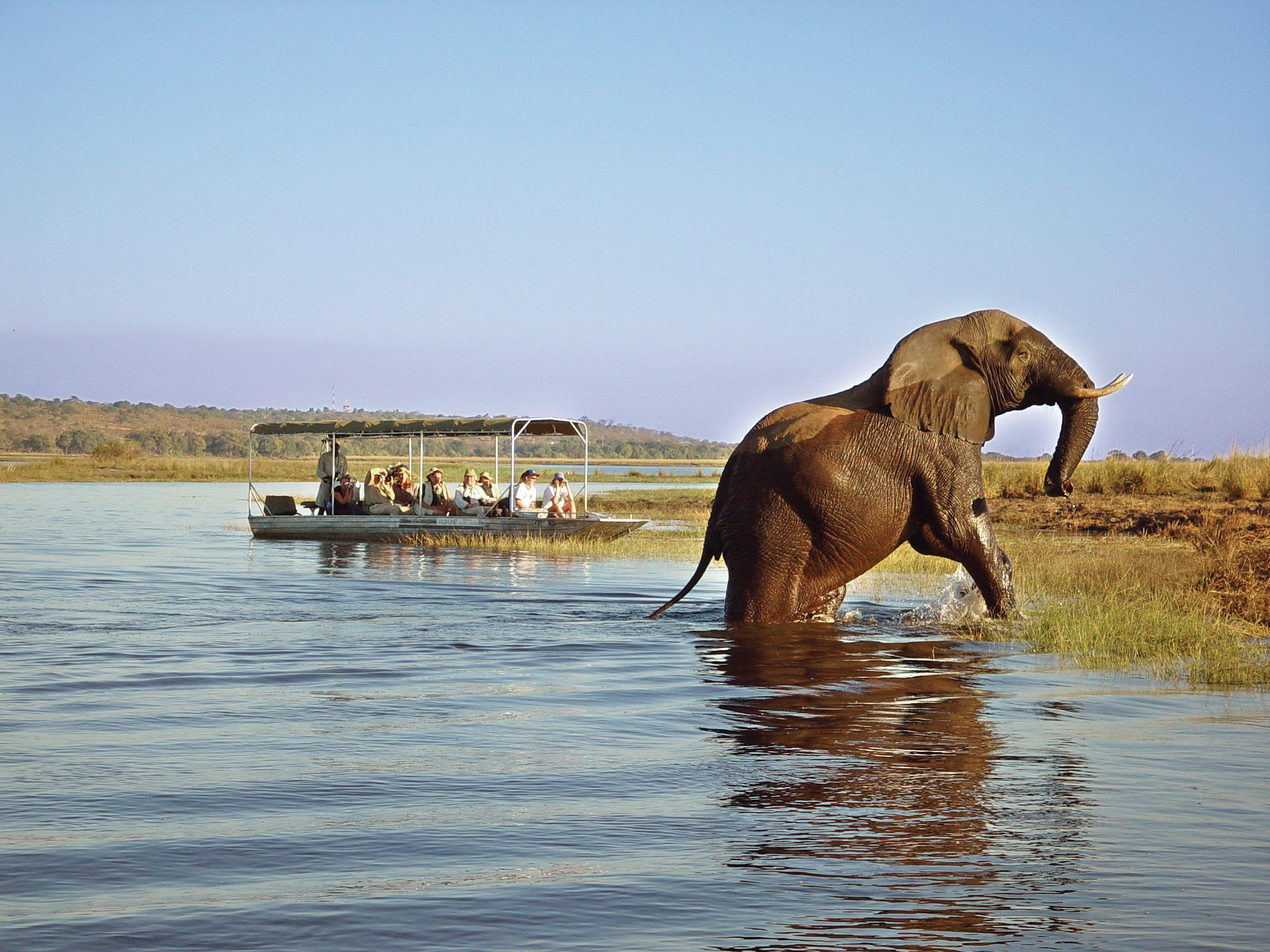 elephant emerging from the water with boat in the background