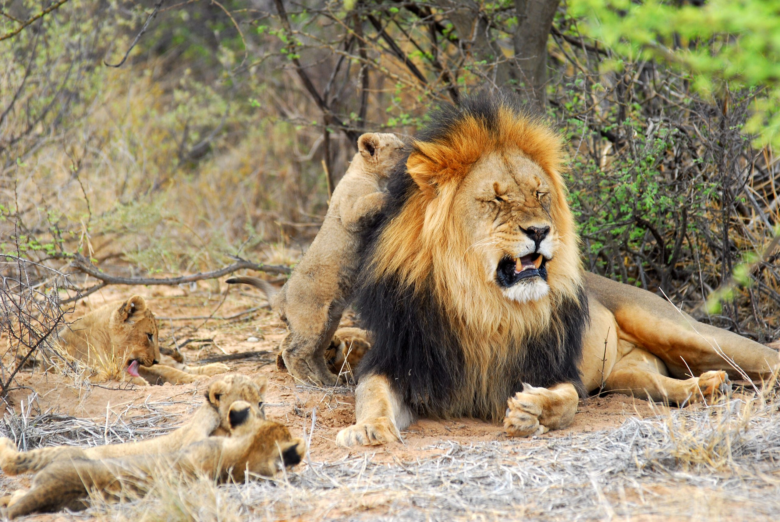 black maned lion with three adorable cubs playing around him under a shaded tree in southern kalahari