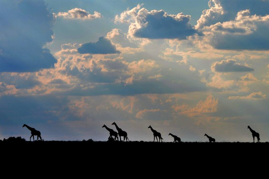 giraffe walking with clouds