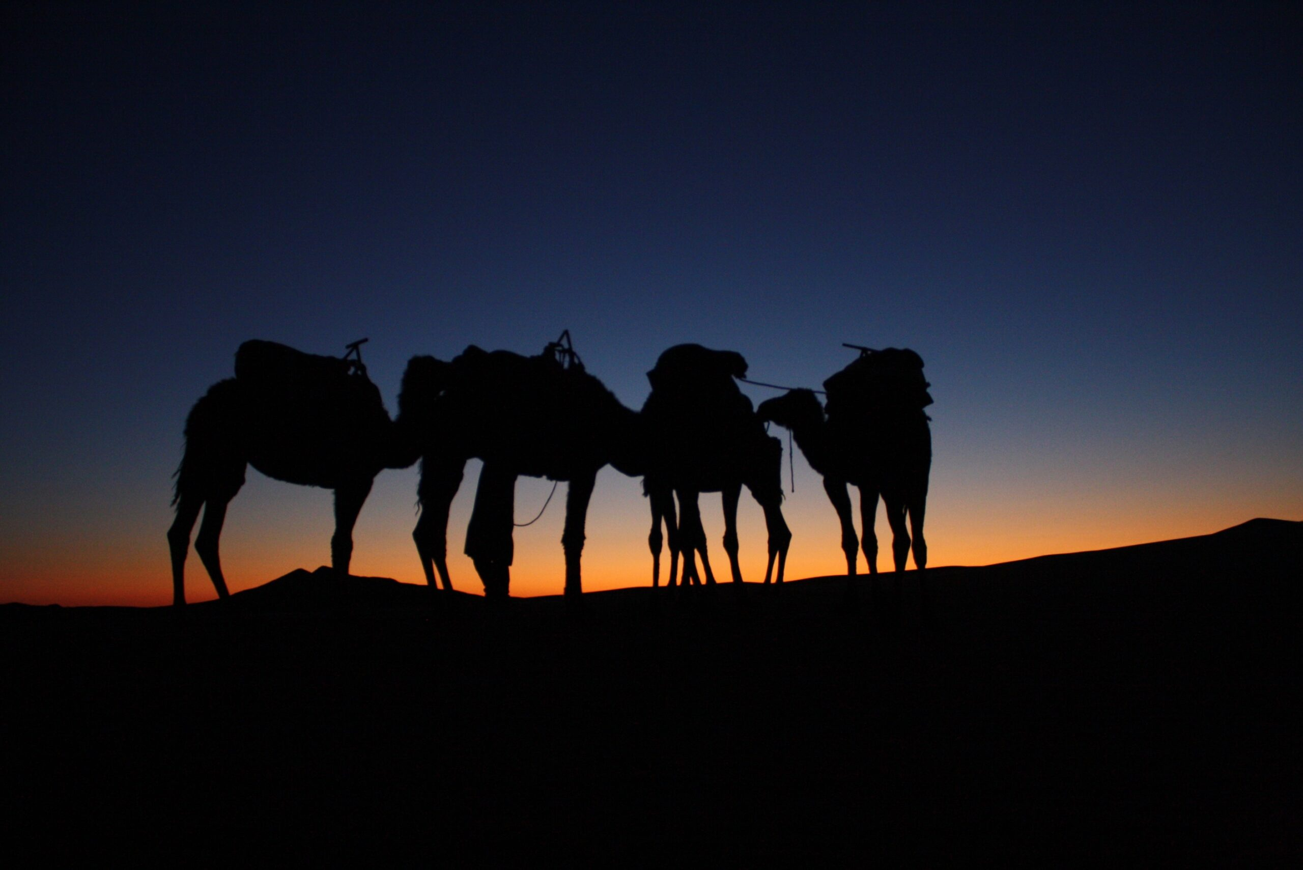 camelback safari atop a sand dune illuminated by the setting sun below them.