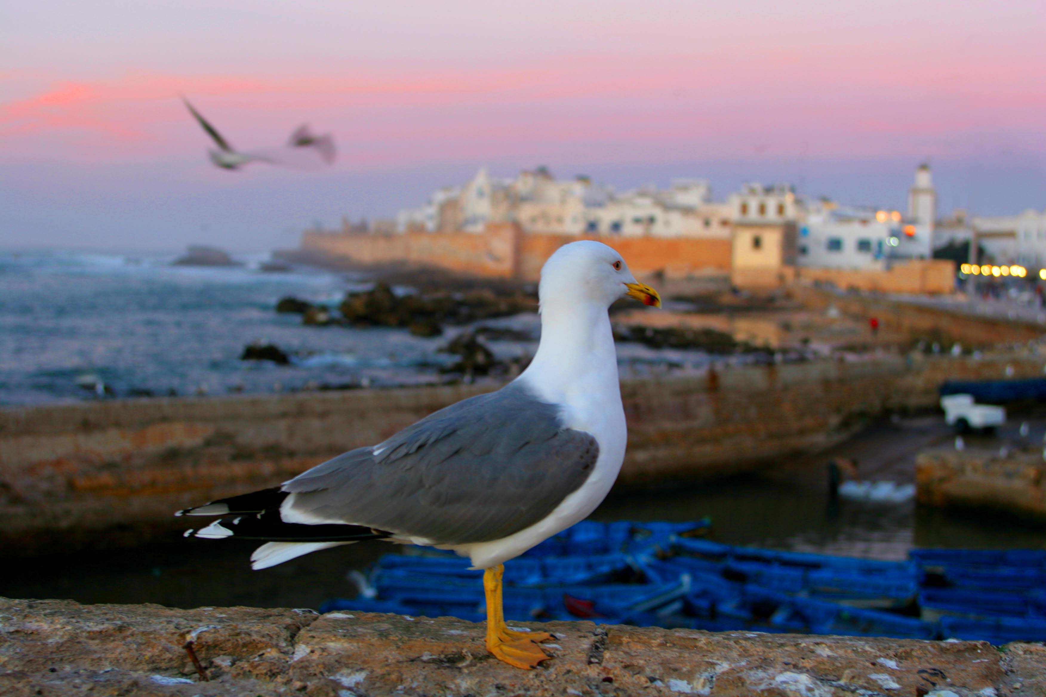 Seagull looking over seaside town of Essaouira