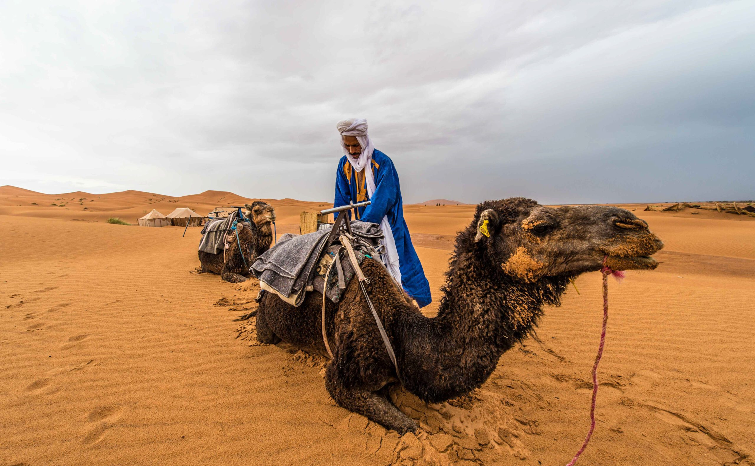 Local man tending to his camel in Sahara