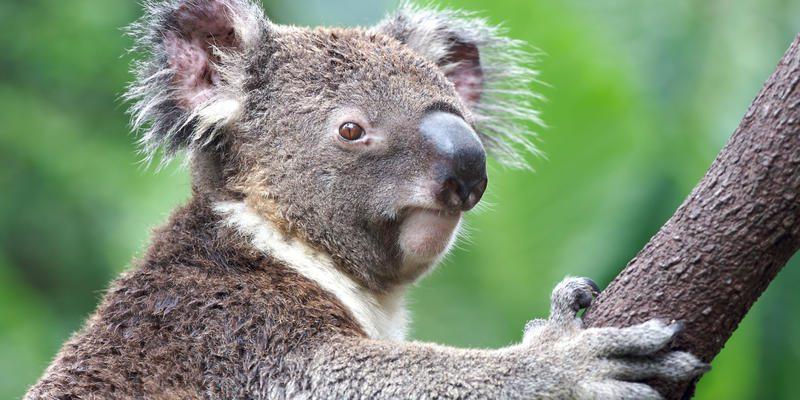 A Koala close up