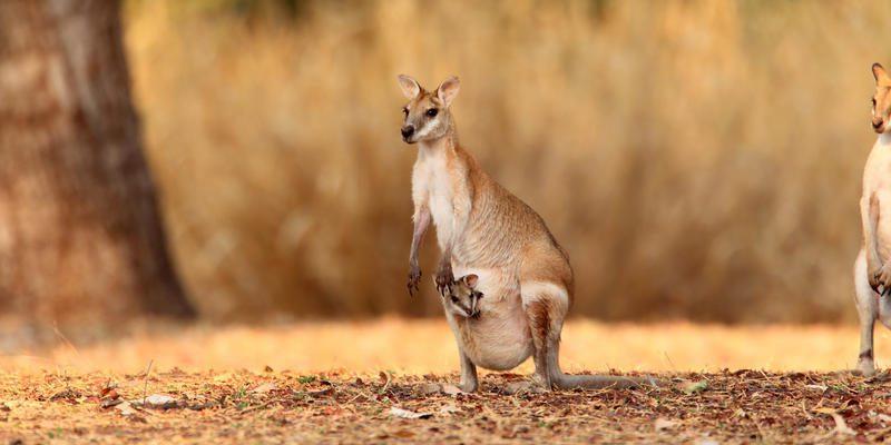 A mama and baby kangaroo, Darwin, on a northern Australia holiday
