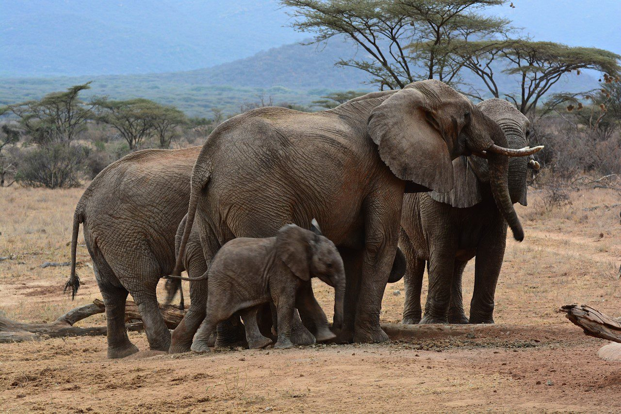 Family of elephants in the brush with trees in the background