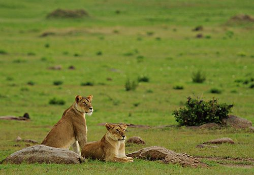 two female lion sit and look out over the Serengeti seen on our Tanzania big game safari