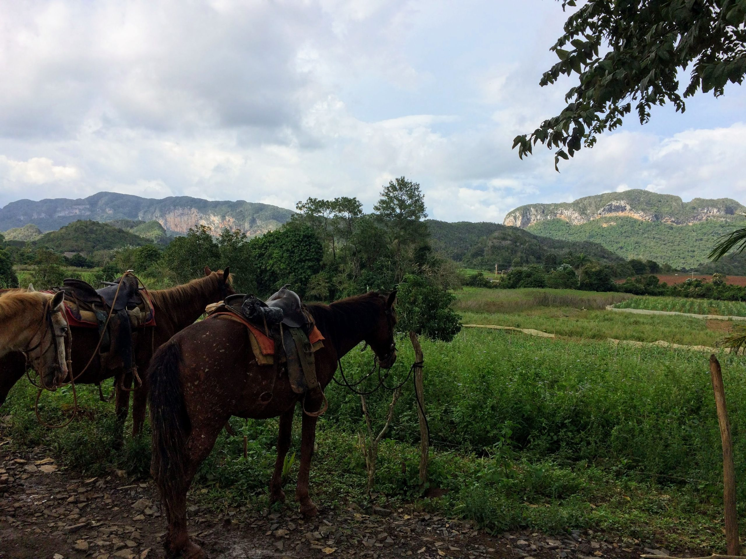 Horses with mountain in background in Vinales
