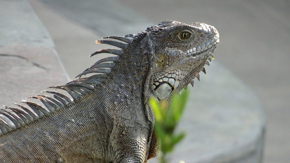 Iguana in Galapagos Ecuador