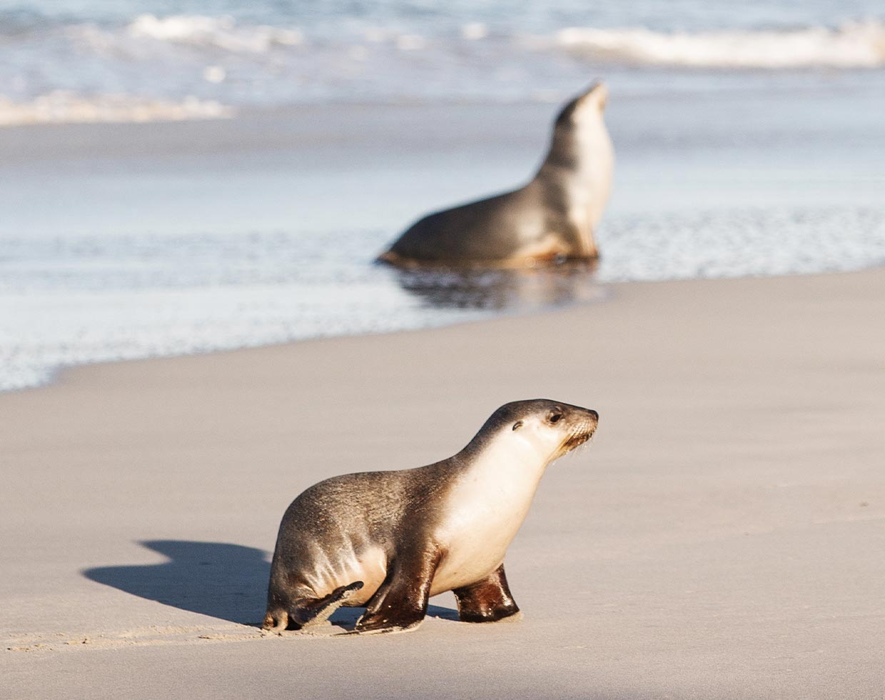 Two seals basking in the sun on the seashore of Kangaroo Island