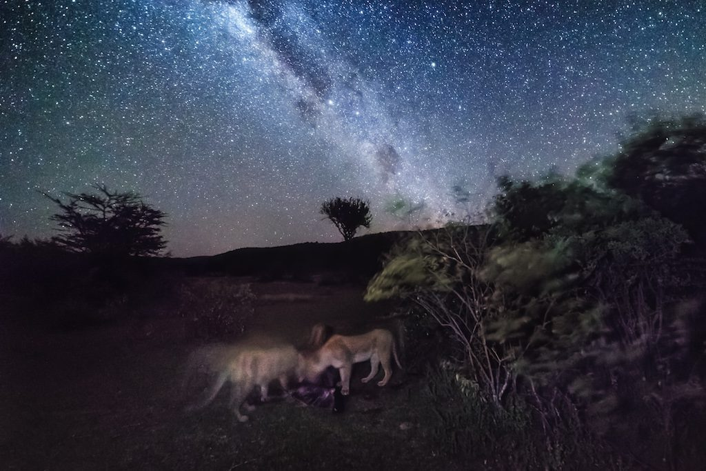 two lions under the milky way at night on a night game drive safari