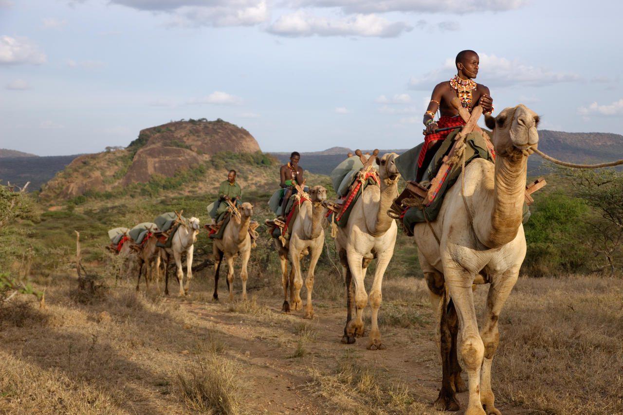caravan of camels led by a Samburu warrior at Ol Malo Camp in Kenya on a camelback safari