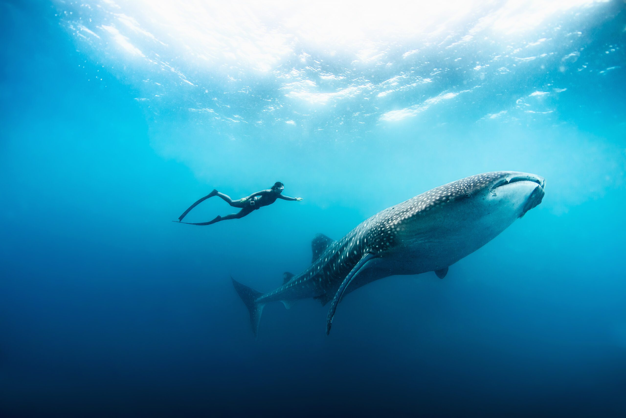 diver swimming next to whale shark