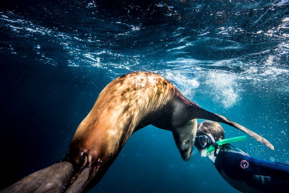 snorkeler close up with sea lion on an Oceania safari