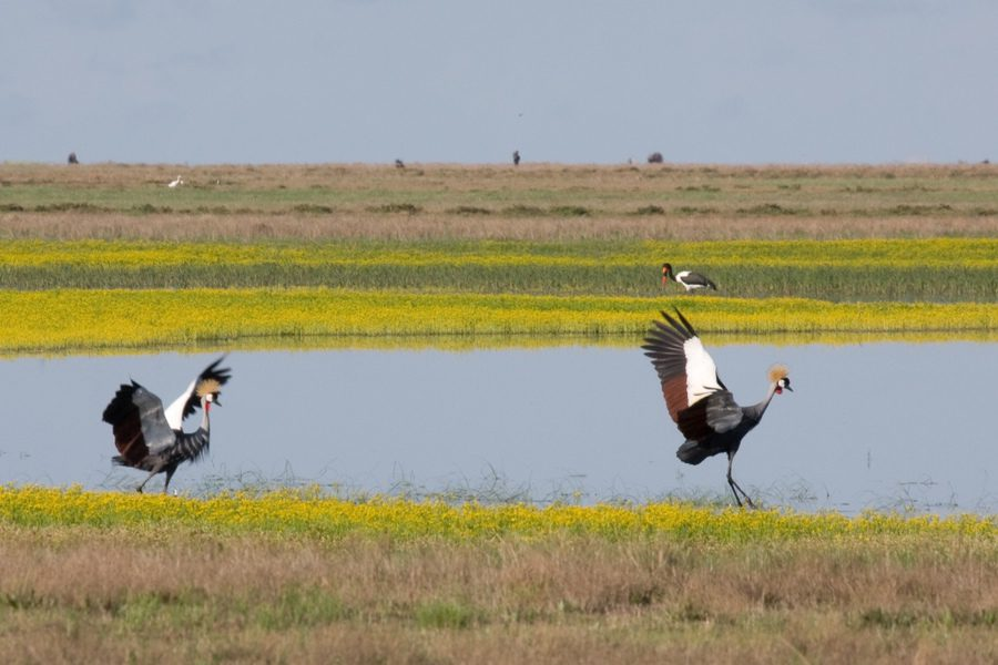 Crested cranes landing on a body of water in the Liuwa Plains