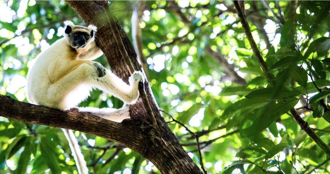Lemur in tree at Miavana