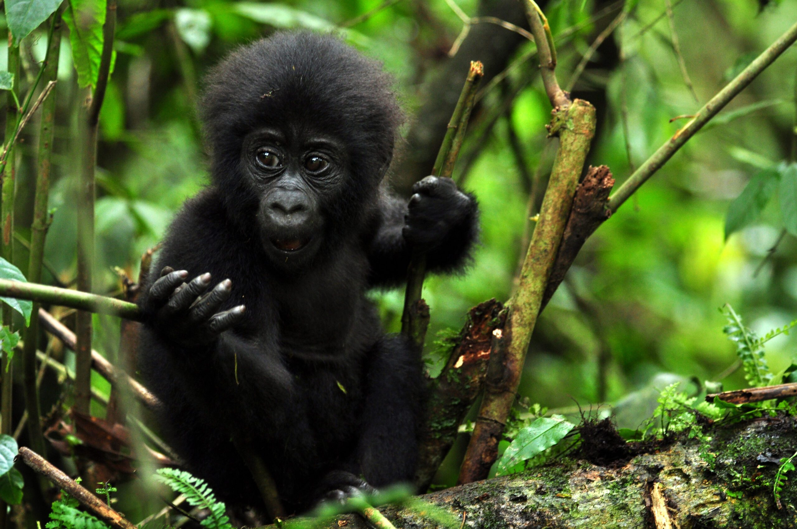 Baby Gorilla in a tree looking at the camera