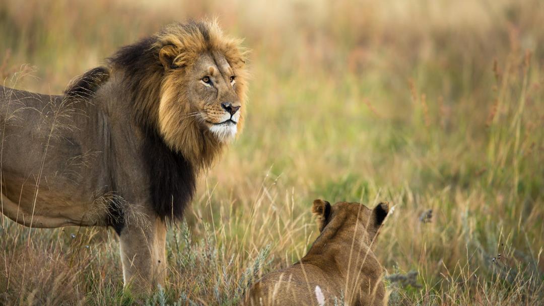 Lion Masa Mara