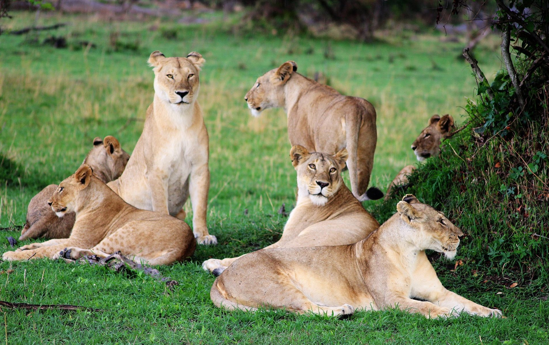 lion family in the serengeti