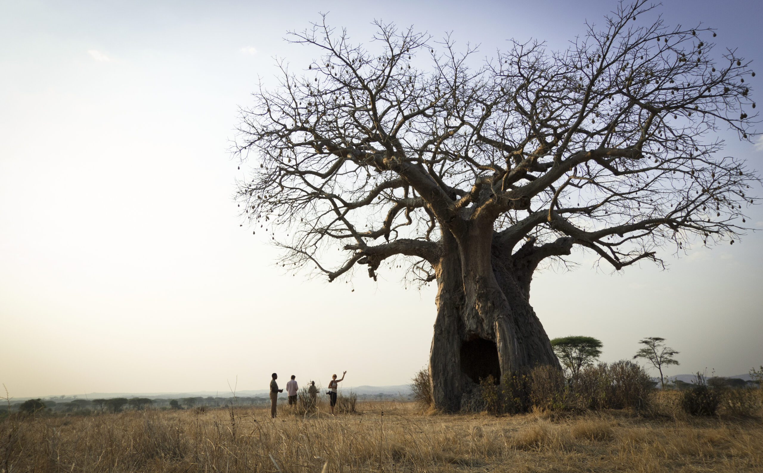 massive baobab tree at Kigelia Ruaha with a small group of people reveling at its size.
