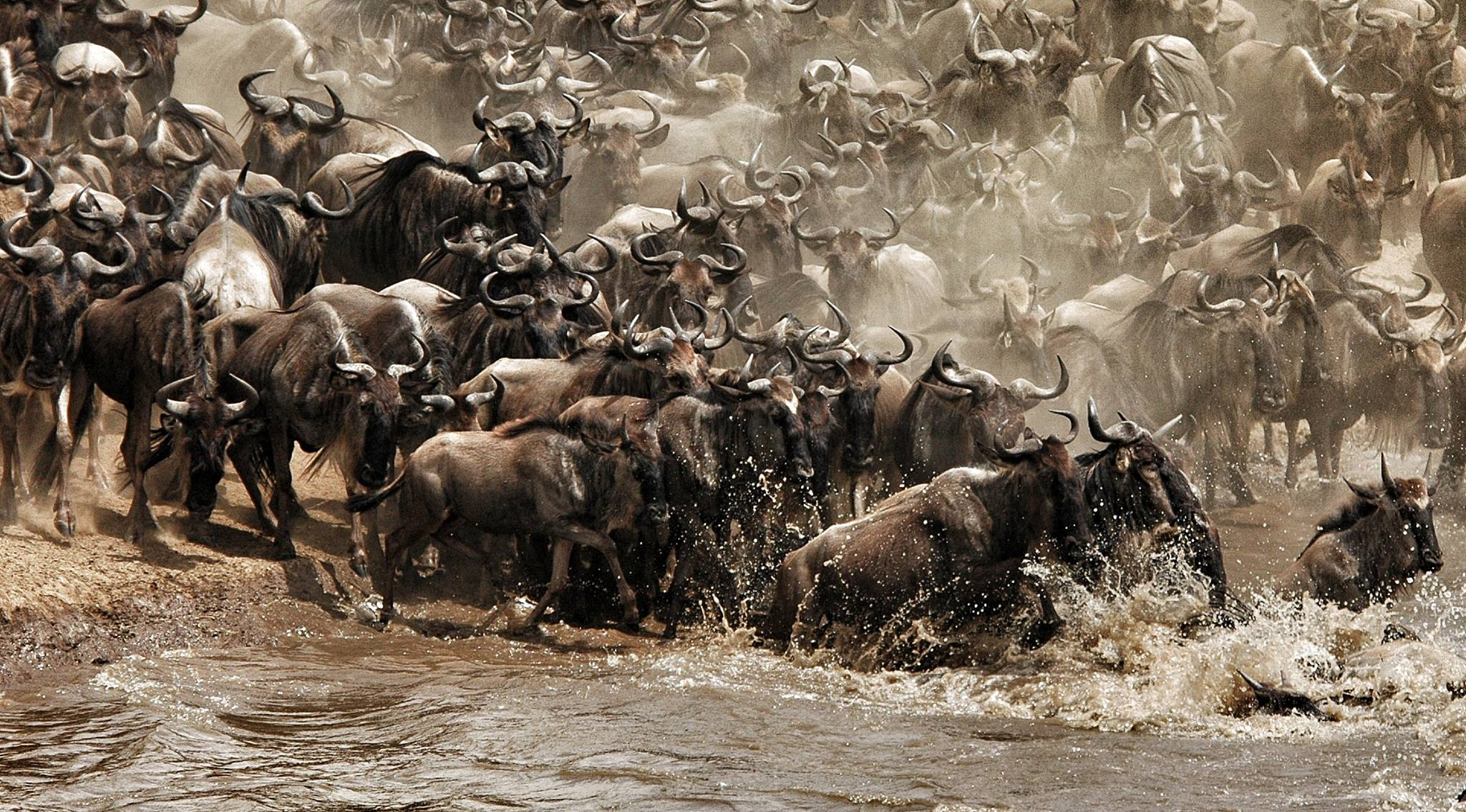 Wildebeests migrating across river
