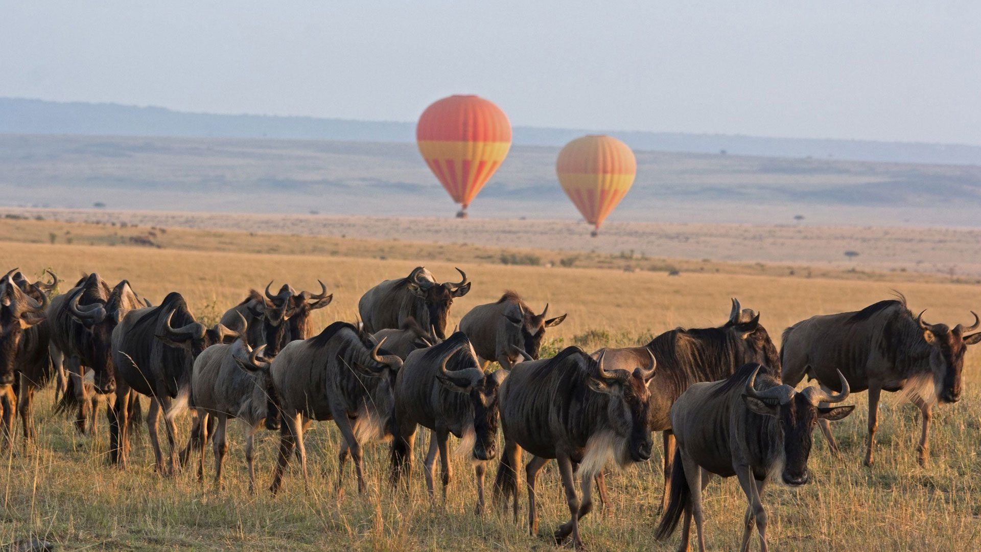 two hot air balloons launching over a herd of wildebeest in the Serengeti