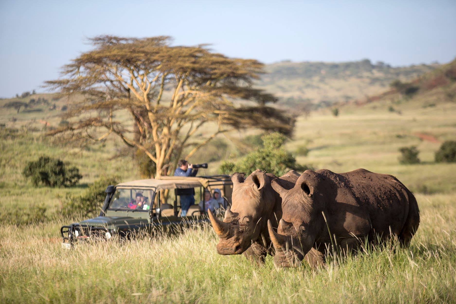 game vehicle stopped in front of a tree to look at two white rhinos at Sirikoi on a game drive safari