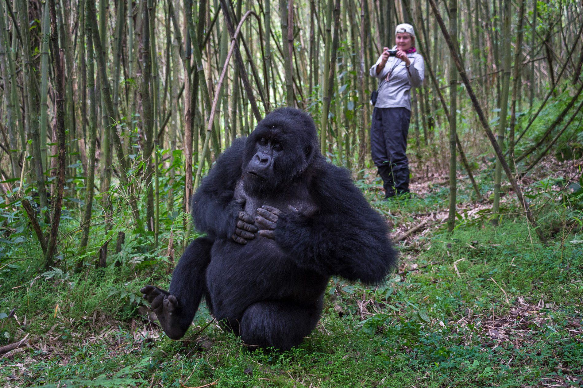 Gorilla trekking at bisate rwanda