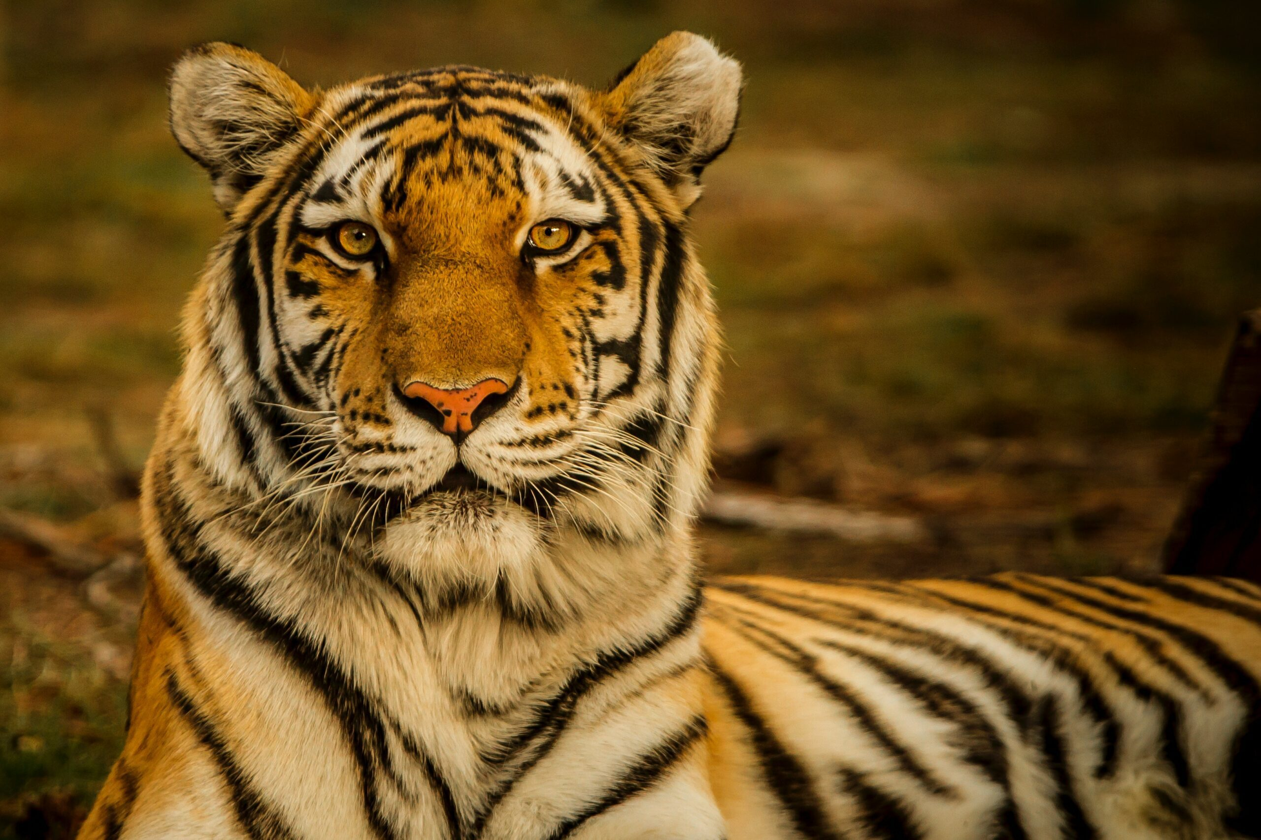 close-up photo of a Bengal tiger with a blurred background as seen on india safari