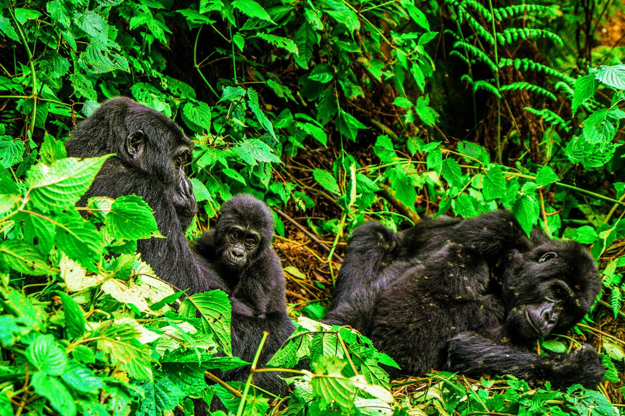 Buhoma Lodge Passing by a family of gorillas relaxing in their natural habitat