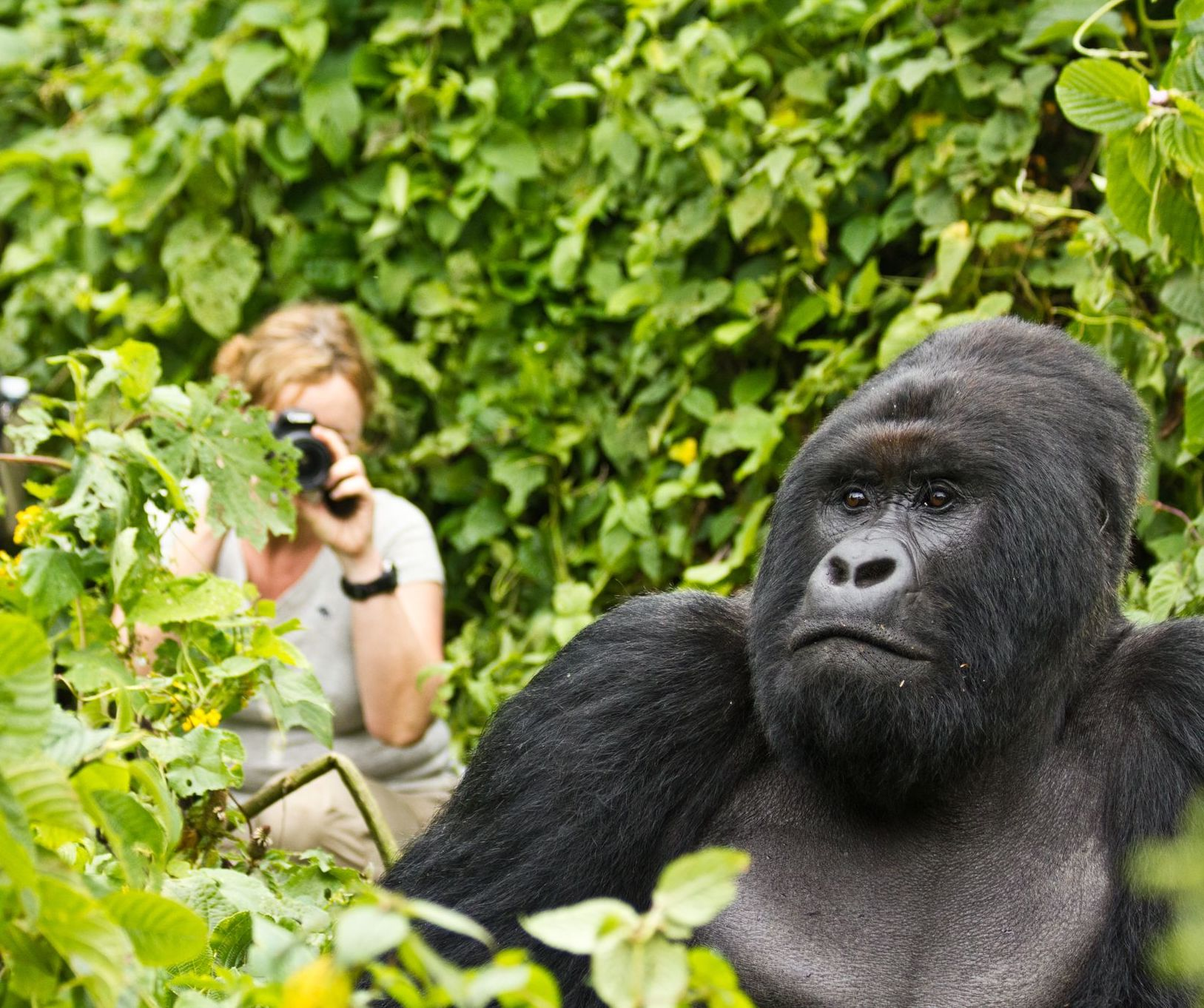 silverback gorilla sitting in the lush green foliage undisturbed by the tourist behind him taking a photo while gorilla viewing in Africa