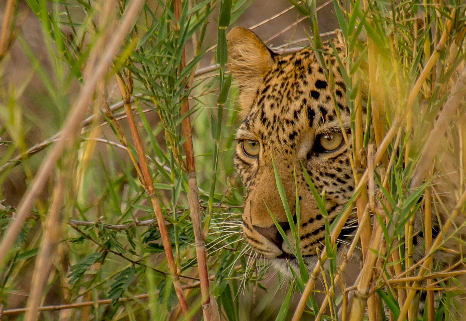 leopard lurking among the tall green grass in kruger national park