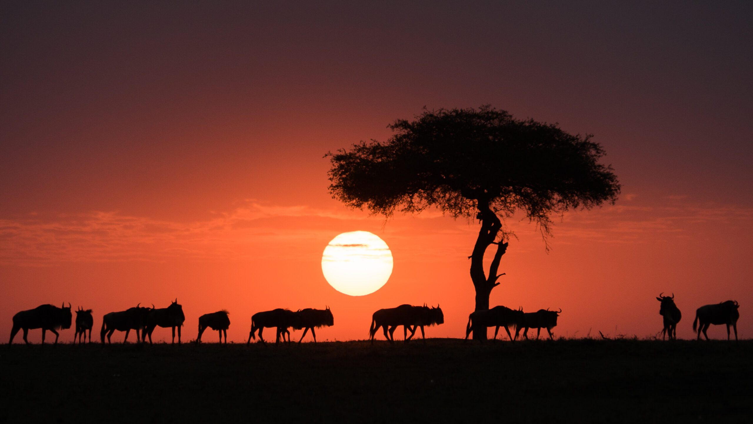 herds of wildebeest cross beneath an acacia tree as the sun sets.