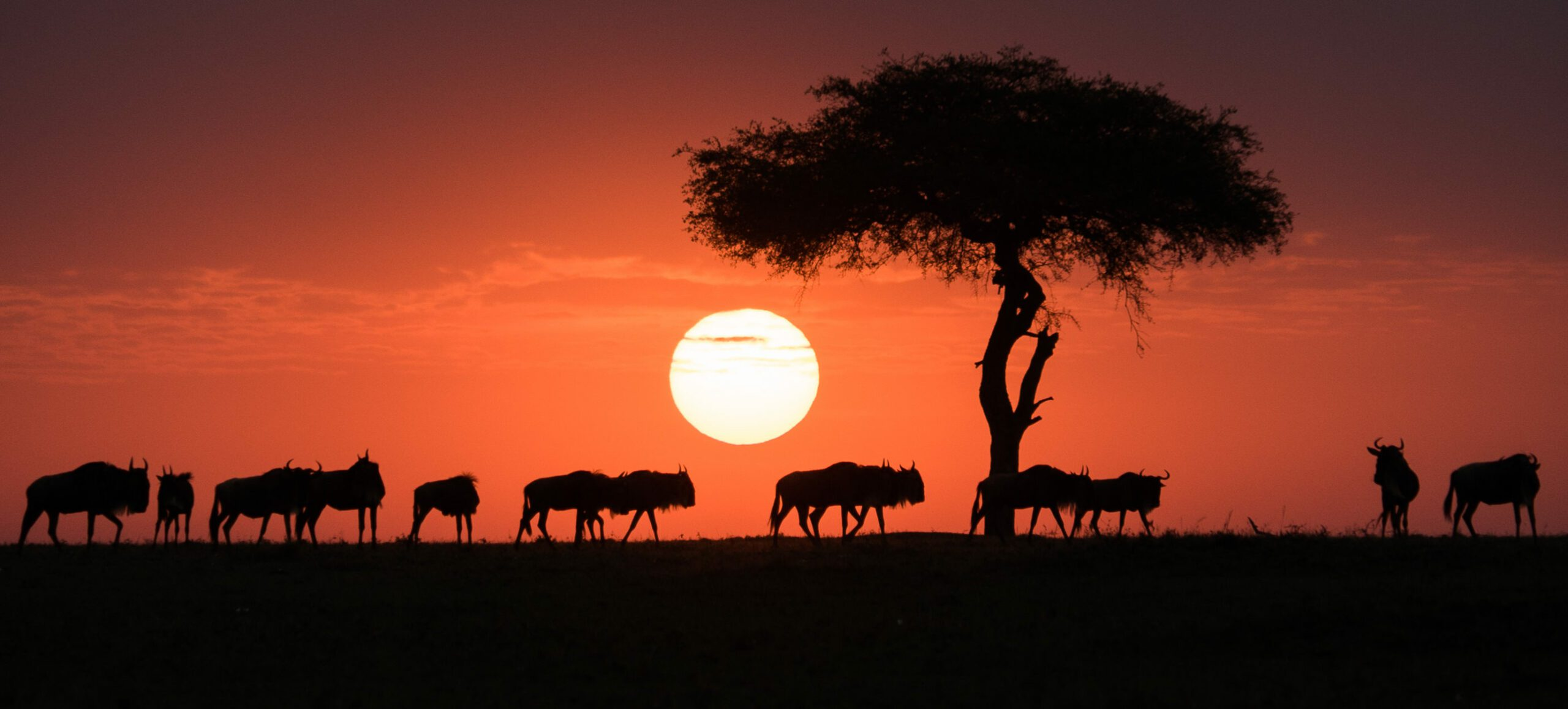 On an Africa safari you'll see wildebeest walking across the horizon toward an acacia at sunset in the Maasai Mara