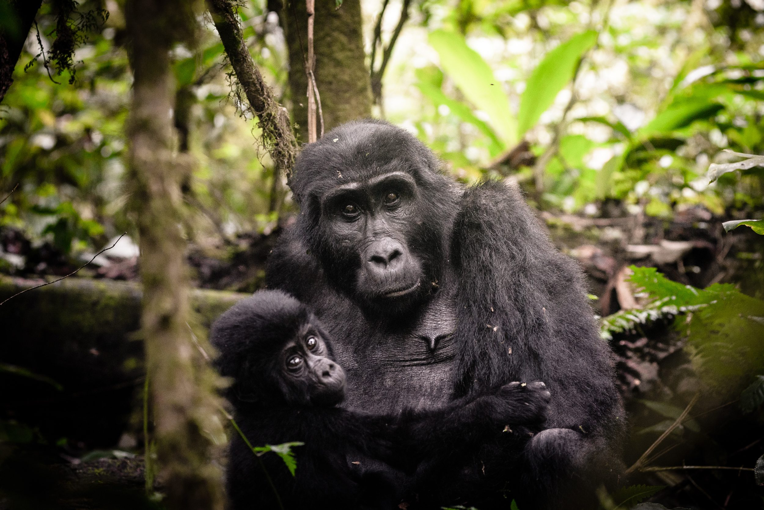 A baby gorilla clutches to its mother in the rainforests of Uganda.