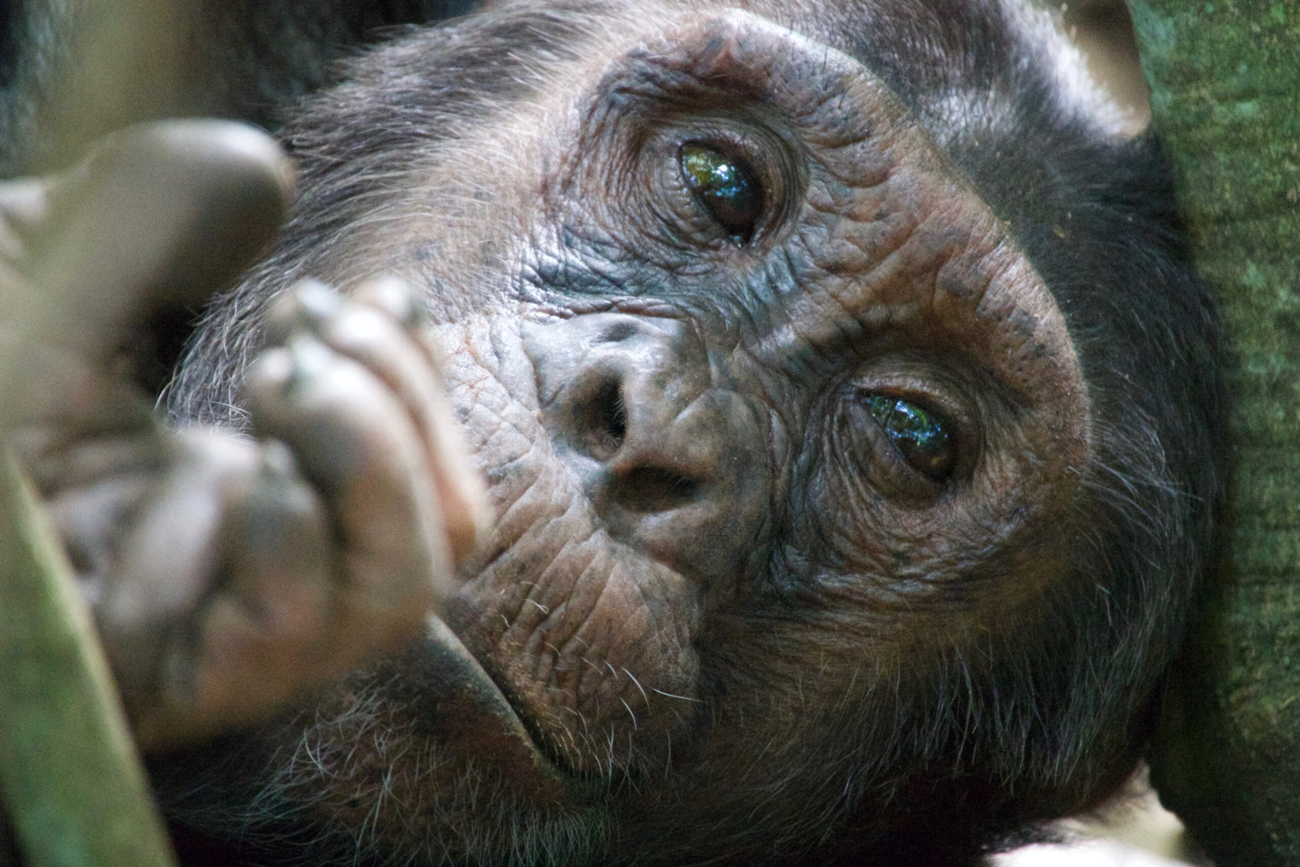 close up of chimpanzee's face and hand