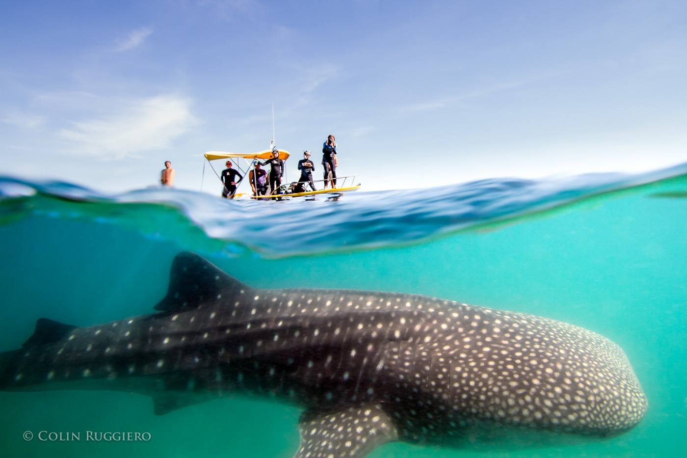 boaters looking down at whale shark through water