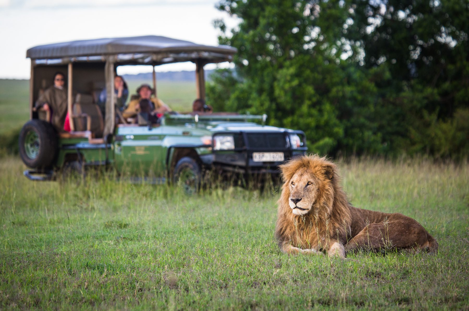 lion in mara plains with vehicle
