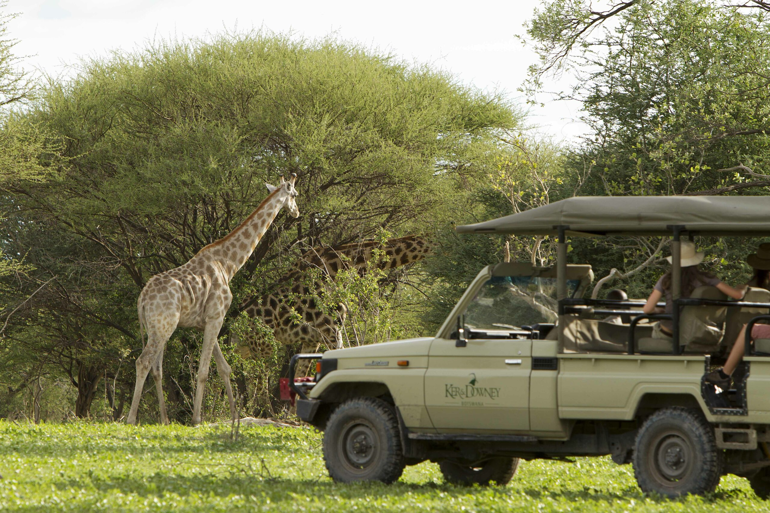 giraffe by tree with safari vehicle on this Southern Africa family safari