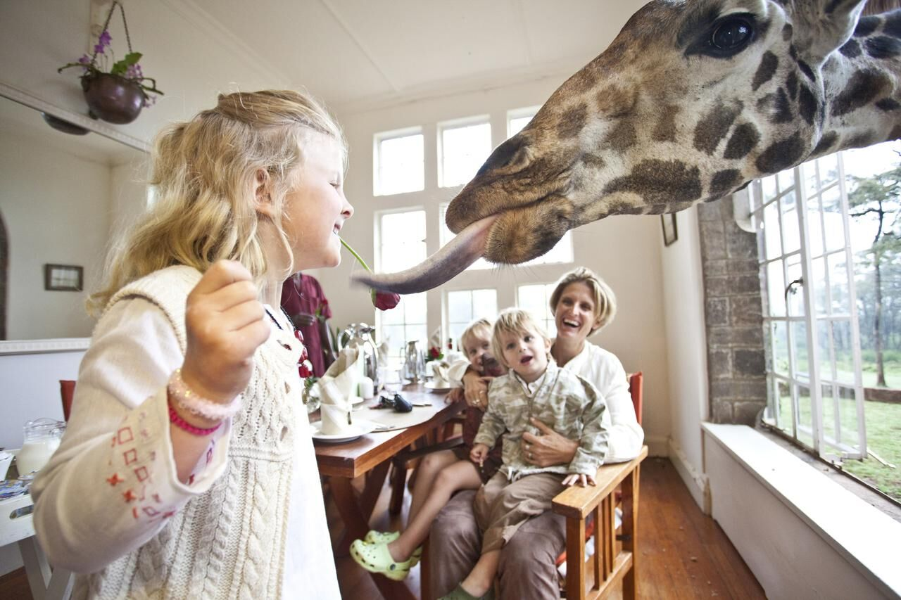 blonde girl feeding a giraffe from a breakfast room with her parents watching