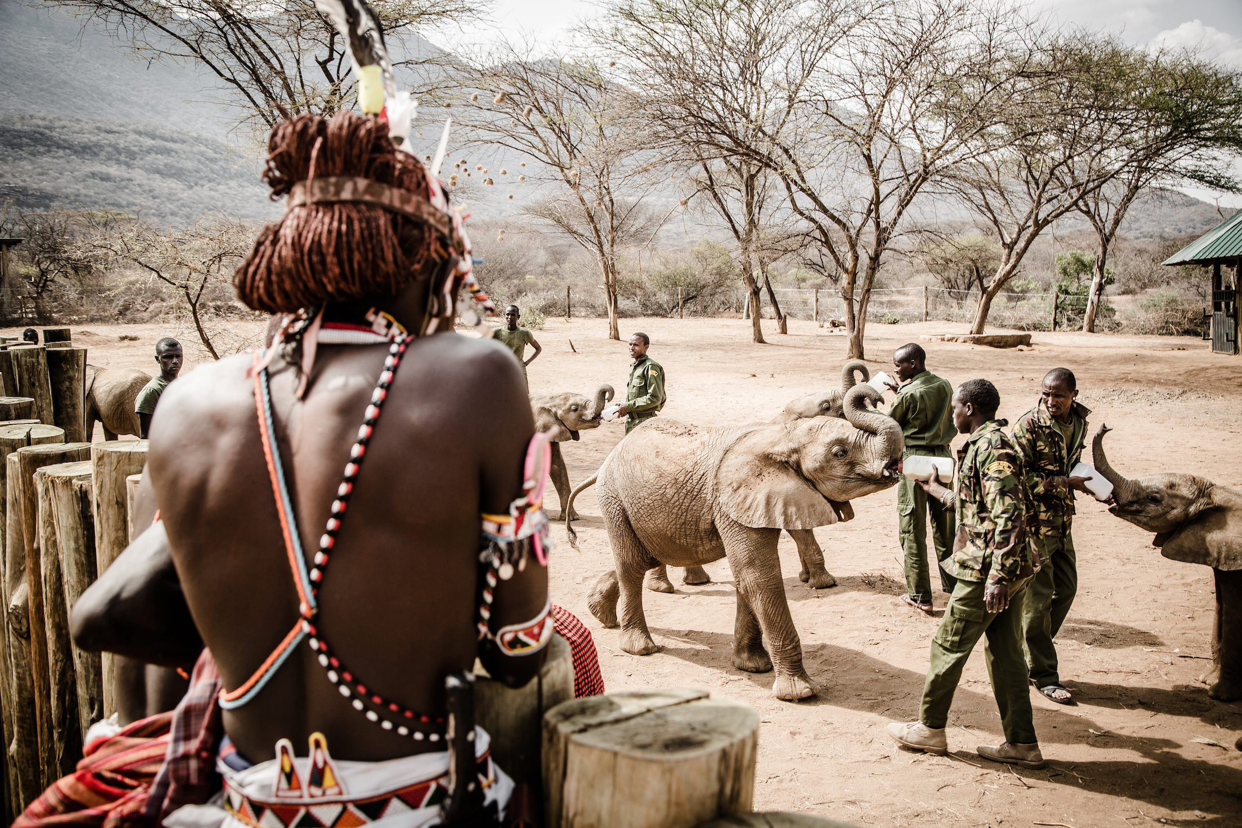 samburu watching baby orphan elephants drink milk out of bottles from their caretakers at Reteti Elephant Sanctuary