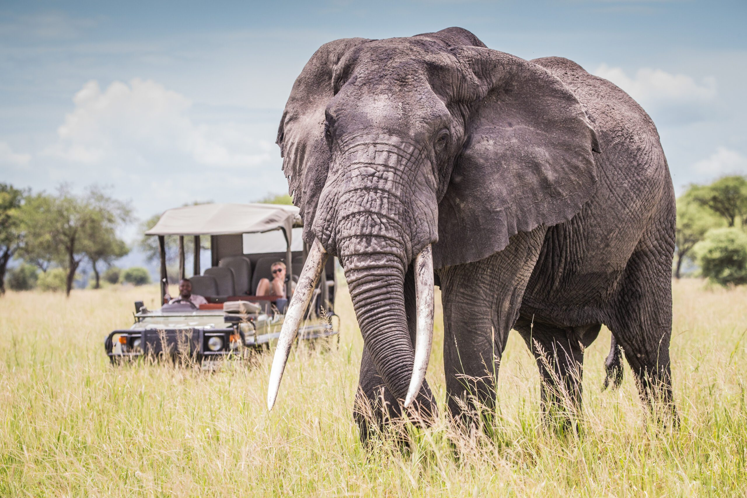 big tusked elephant followed by an open air safari vehicle