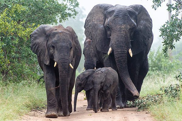 mother elephant with about 4 young ones walking on the dusty trail with fog behind them on this Southern Africa safari