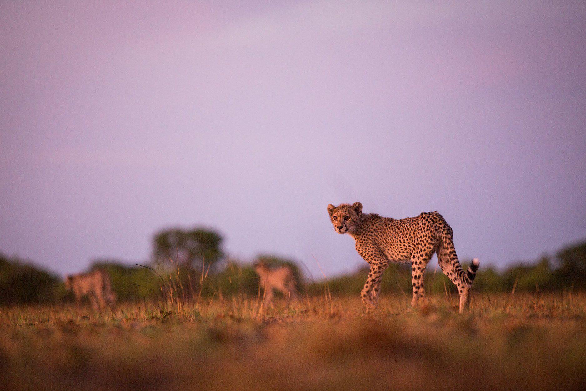 cheetah on the plains