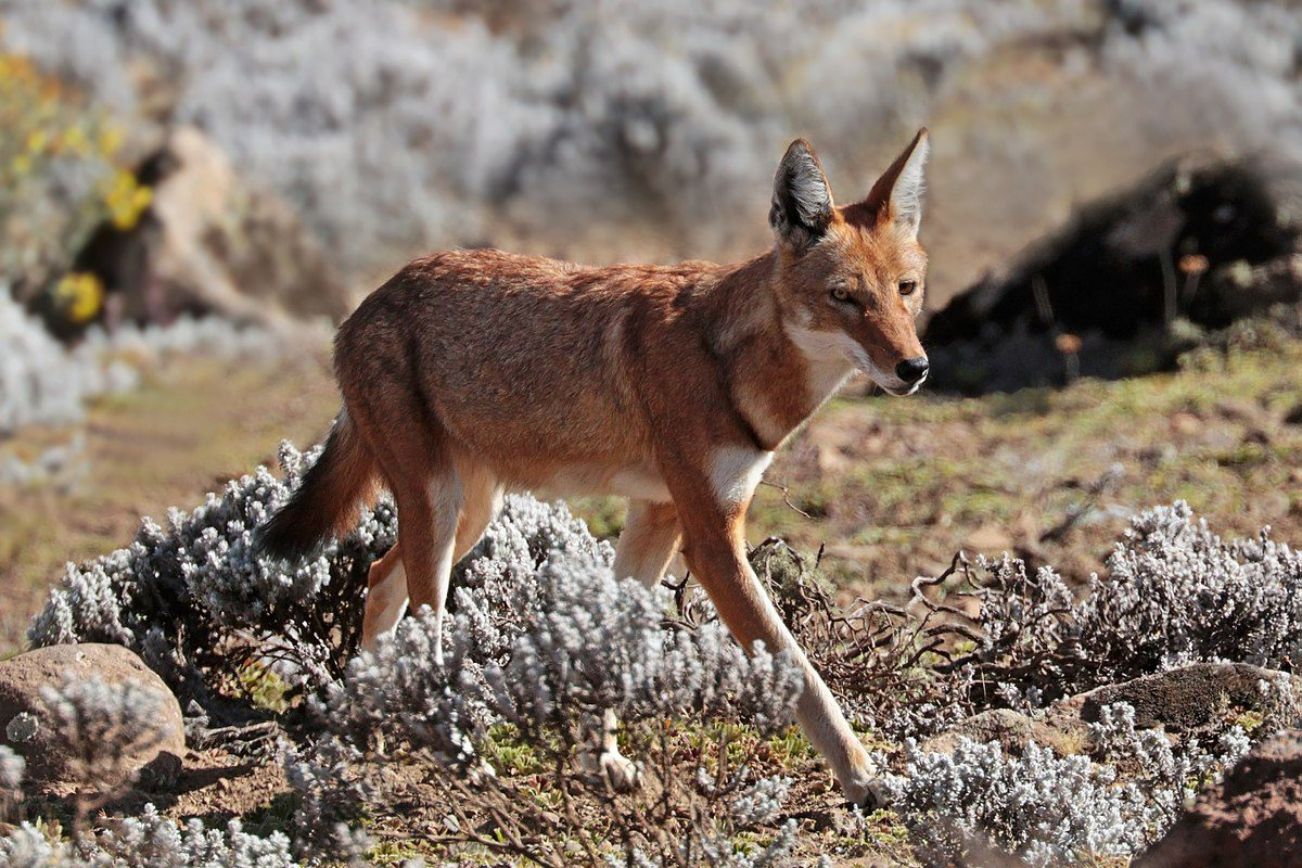 One lone orange Ethiopian wolf walking across the brown dead grass in the park seen on Ethiopia safari