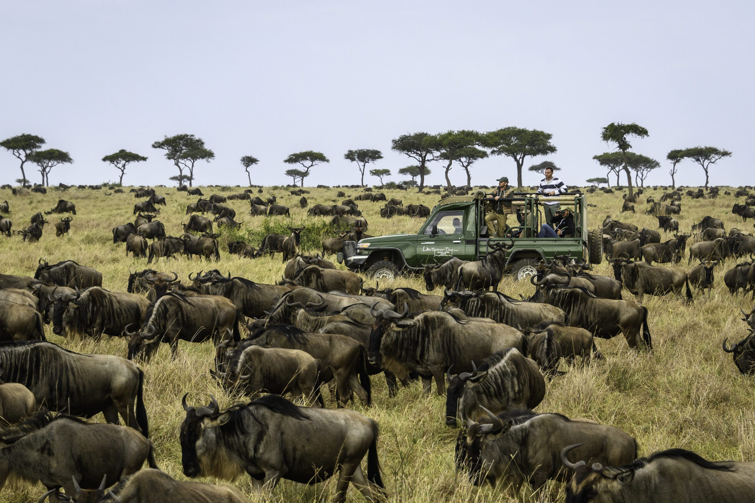 wildebeest on the open plains surrounding a safari vehicle in Kenya on this Southern Africa safari