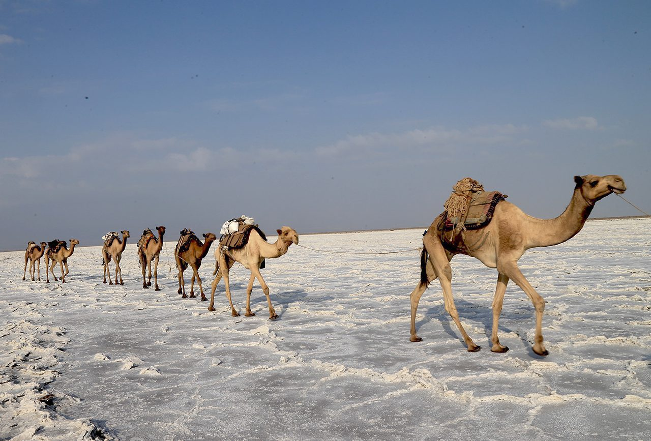 camels crossing the Danakil depression in Ethiopia walking across white earth - danakil