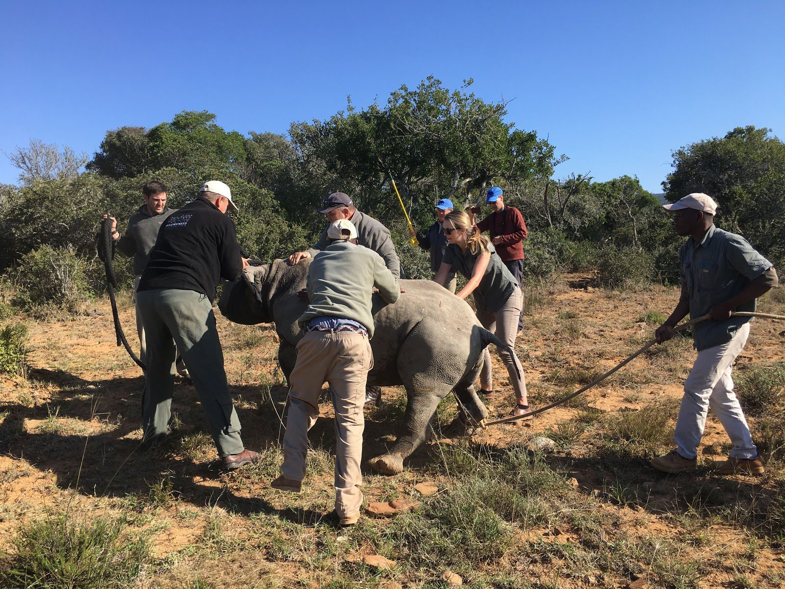a team of conservationists guide a blindfolded rhino safely to its feet as the anesthesia wears off post-tagging on a conservation safari