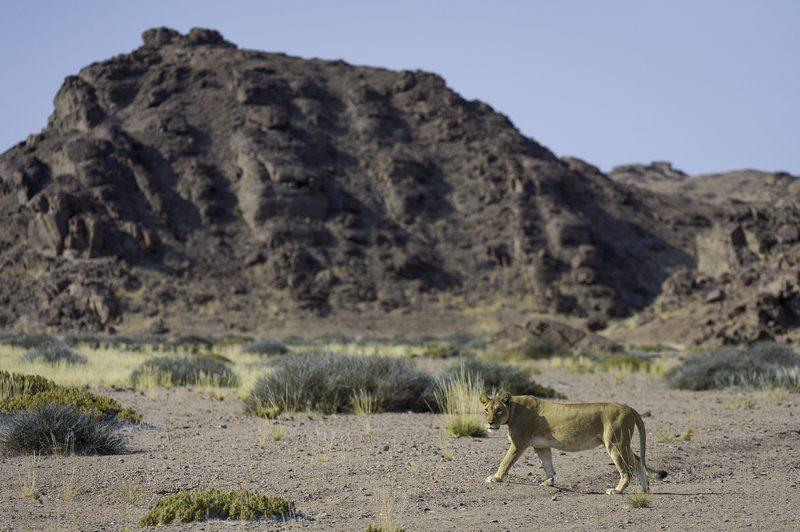 Desert adapted lion in Damaraland